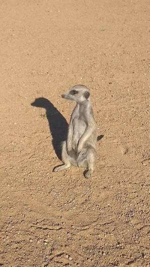 Meerkat, Erdmännchen