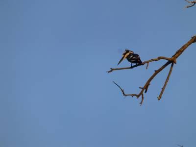 Piet Kingfisher