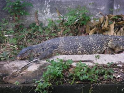 giant lizzard taking a sunbath at the riverside