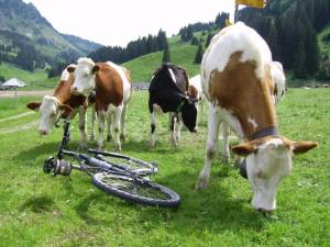 Fribourger Rinder